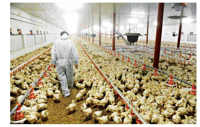 Image of Worker caring for poultry in a poultry farm
