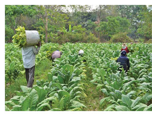 Workers harvesting tobacco plants