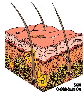 skin cross-section diagram